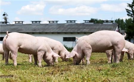 市场供应仍然偏紧 济宁生猪价格继续上行