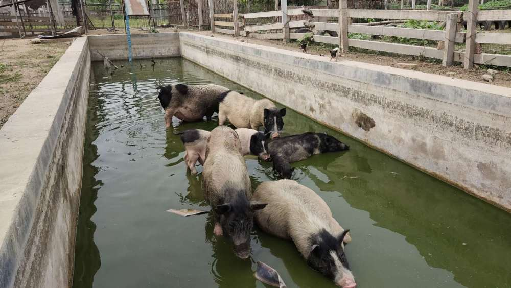 我国生猪生产的养殖人定位问题不解决,猪肉供给与价格很难稳定