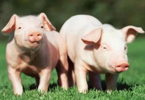 """一路飙升的生猪价格开始""""刹车"""",是受到储备肉投放的压制吗?"""