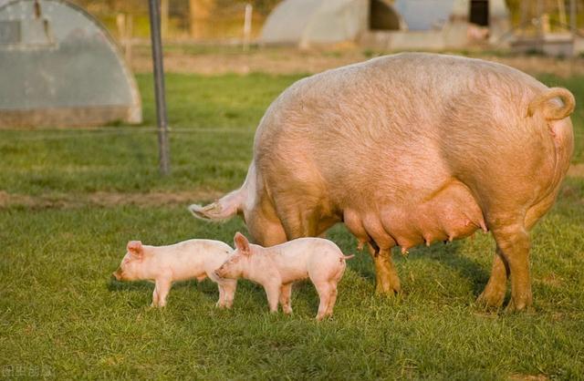 母猪妊娠期9类千万不能碰的禁用药物