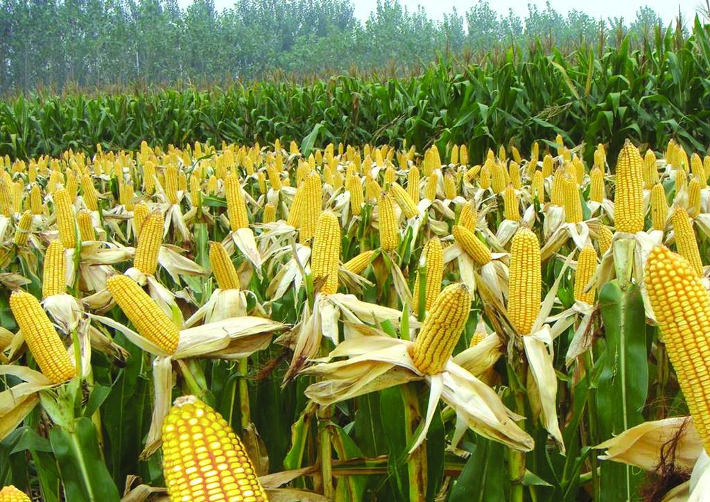 高价抢粮依然激烈,玉米价格再迎上涨