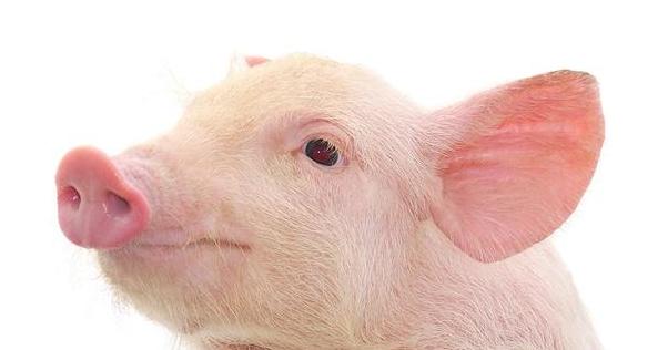 7月12日全国10公斤仔猪价格表,低价区高价区相差较多!