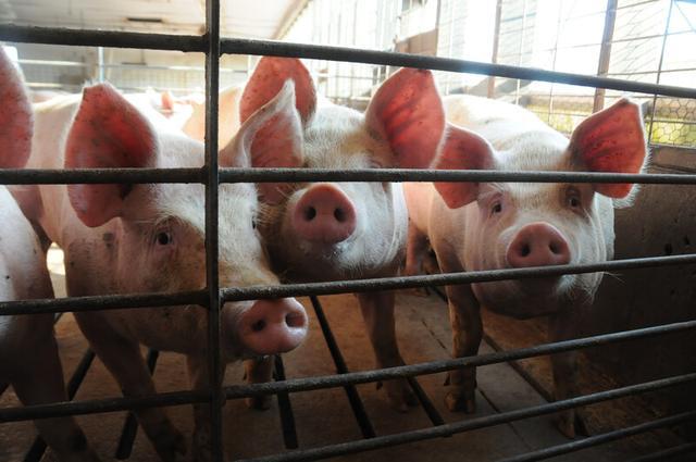 黑龙江:萝北百万头生猪全产业链加速建设
