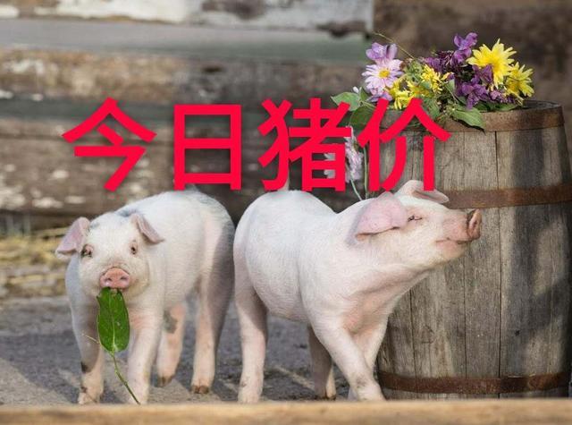7月13日全国外三元生猪价格表,北涨南跌,全国均价止跌反弹!