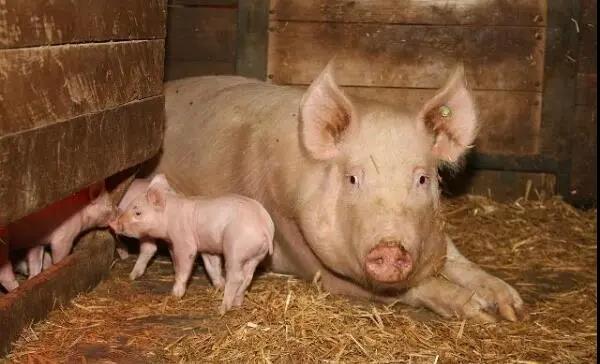 三元母猪的缺点十分明显,那么当前三元母猪留种需要注意哪些?