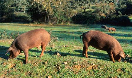 技术连载:种公猪饲养管理要点(二)
