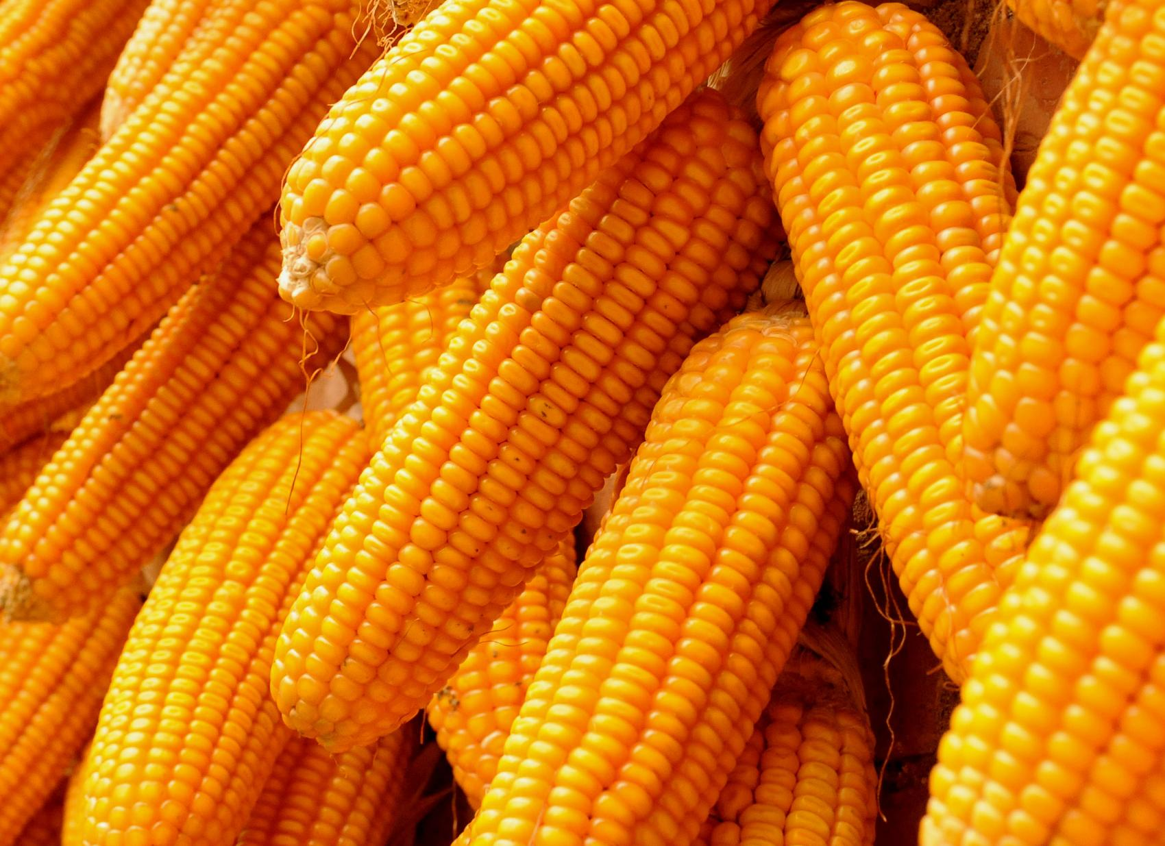 """玉米""""四个逻辑""""告诉你 2020年下半年大涨无悬念"""