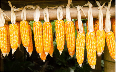 玉米最新价格:玉米再次大范围上涨,1.2元已经不远了