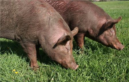 7月16日全国外三元生猪价格表,全面下跌,仅一省市上涨,下半月上涨无望?