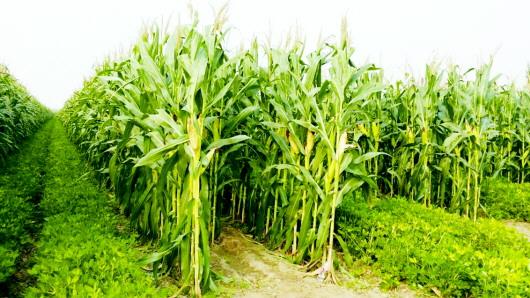 有效供给明显增加,不支持后市玉米价格持续上涨