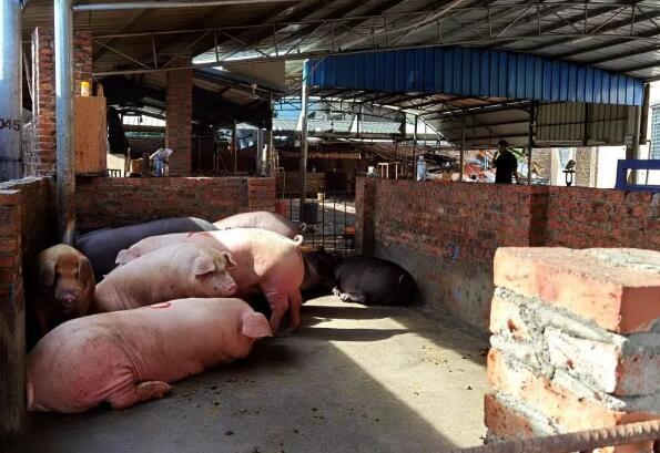 凌晨出击,湛江7个生猪私宰窝点被捣毁,抓获涉案人员39人!
