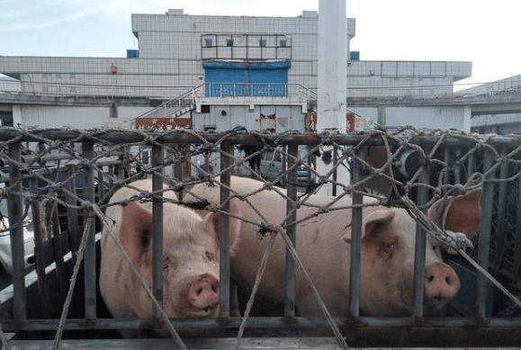 2020年:仔猪大涨破2000元!猪价飞涨12元!下半年猪价预测!