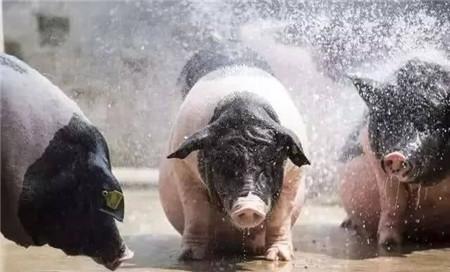 7月17日全国内三元生猪价格行情,跌势再现,上涨无望!