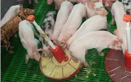 乳猪诱饲时要注意什么?乳猪诱饲的注意事项!
