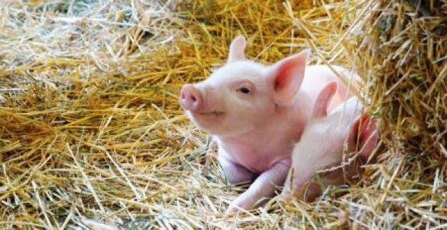 四川今年上半年生猪产能稳步回升 仔猪价格屡创新高均价同比上涨164.8%