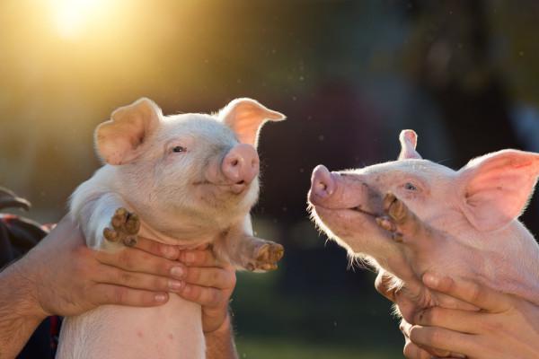 二季度生猪存栏量,比一季度增长5.8%,为何猪价不降反而持续走高