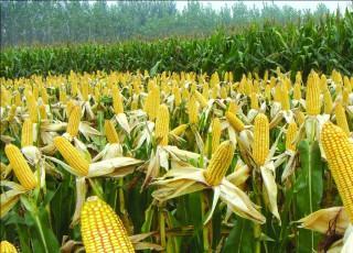 今年玉米缺口老大了!上秋突破1元!
