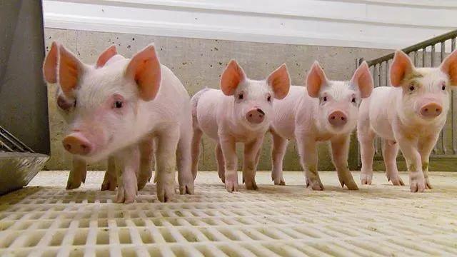 7月18日全国外三元生猪价格表,全国均价继续跌,但下跌有所收窄!