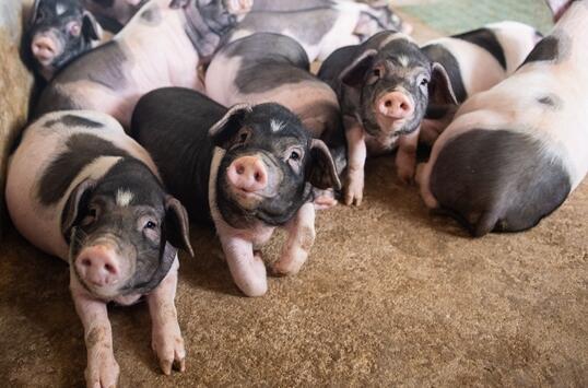 特色养殖集体经济:藏香猪拓宽致富路!