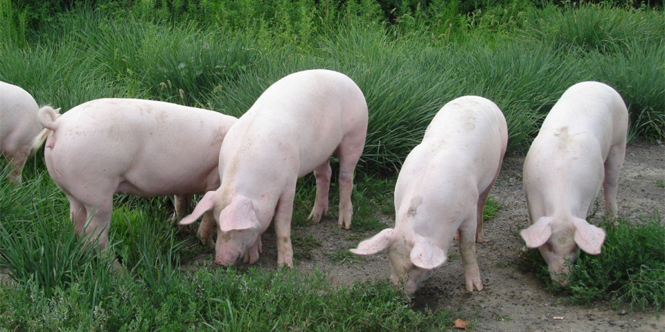 6月末全国能繁母猪存栏3629万头,同比首次由负转正