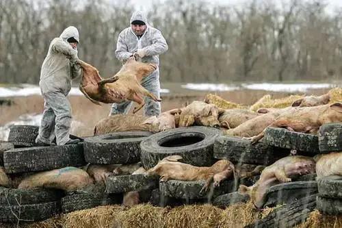 全球养猪业陷重大危机!两大国际组织紧急呼吁:提高非瘟防控能力!中国上半年仅出栏2.5亿头猪