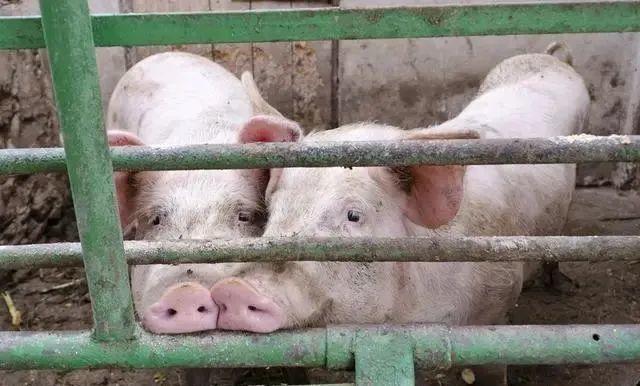 华南猪价一骑绝尘!但紧跟着的是储备肉和增长的中猪