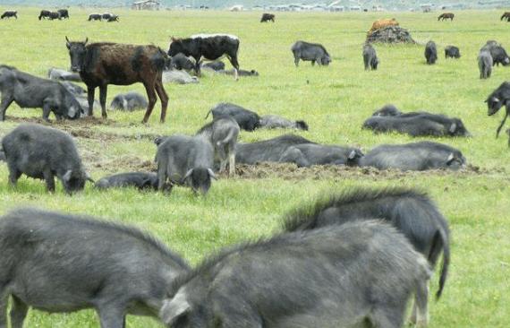 由12.7亿头,预计缩减至9.1亿头!生猪产量锐减,猪肉价格大涨