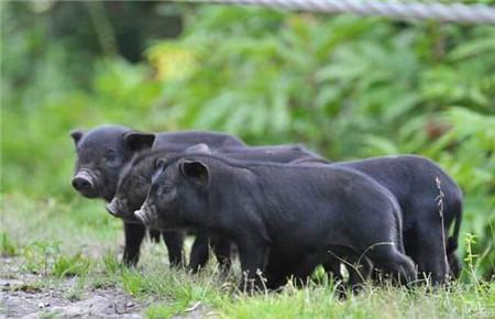 江苏:溧水牧原生猪产业园投用 保障溧水等周边城市的生猪供应