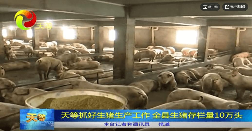 天等新闻:天等抓好生猪生产工作 全县生猪存栏量10万头