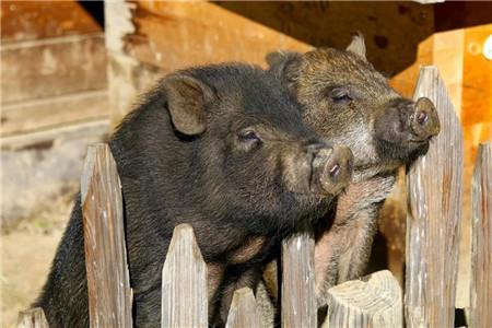 最高投资45.5亿元!为恢复生猪产能,各省市补贴条款可细化为...
