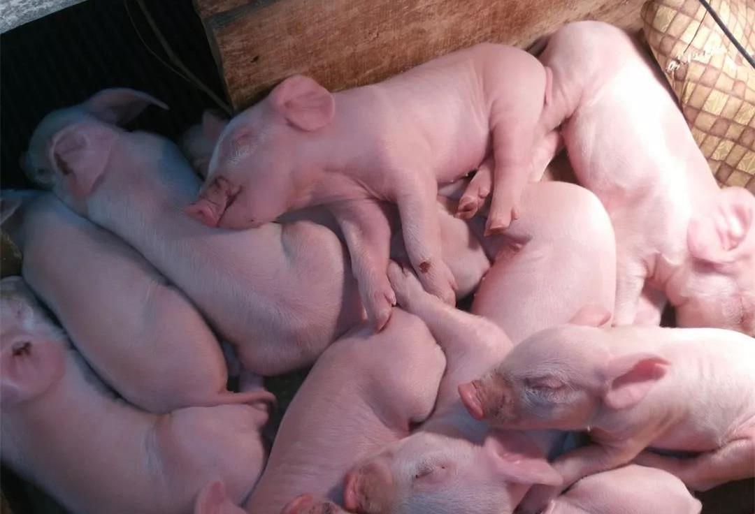 对于初产母猪问题频发的几点经验分享!