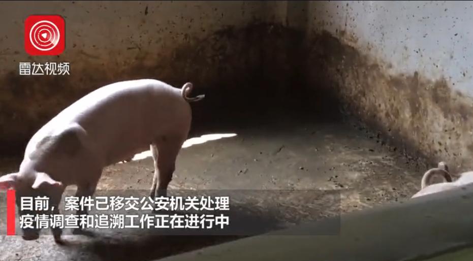 重庆市江津区:在查获的外省违规调运生猪中排查出非瘟疫情