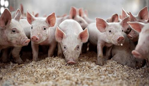 洪涝灾害对生猪产业影响最深远的不是猪价、不是产能,而是......