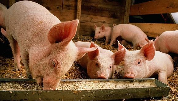 卓创资讯:生猪行情有松动迹象 养殖盈利面临缩水可能