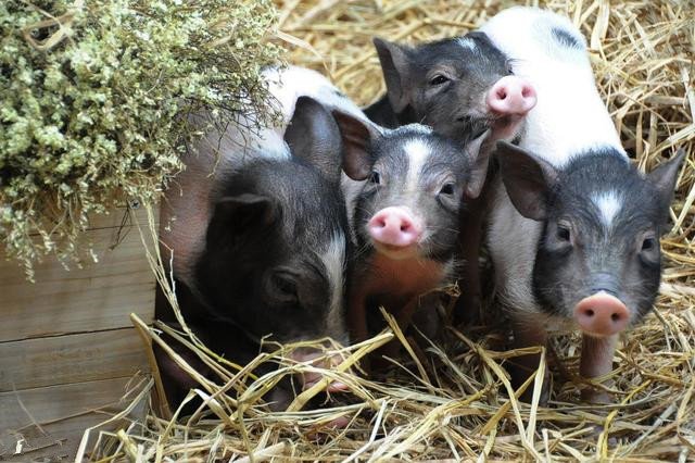 7月27日全国20公斤仔猪价格表,缺猪依然存在,仔猪价格持续高位!