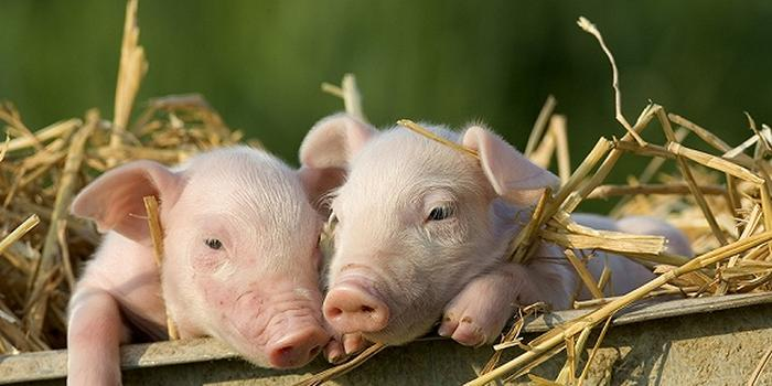 济宁:本周生猪价格环比下降0.59%