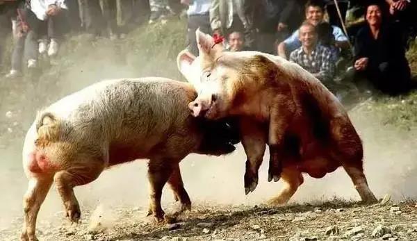 得种猪者得天下!种猪将成为养殖业的下一个血拼之地