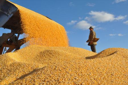 玉米最高收购价突破2500元!顶峰到了?玉米或将面临大跌?