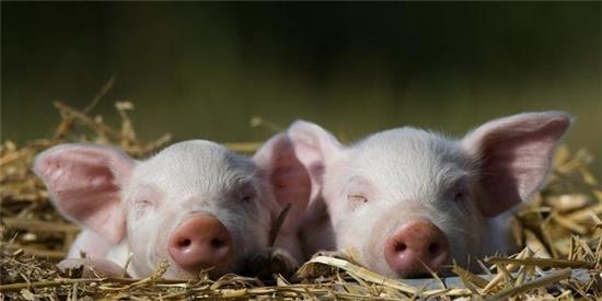 安徽省生猪产能稳步回升 6月底生猪存栏量同比增长12.1%