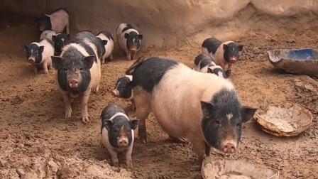 7月29日全国15公斤仔猪价格表,仔猪价格高企,今日报价最高的省市是湖北!