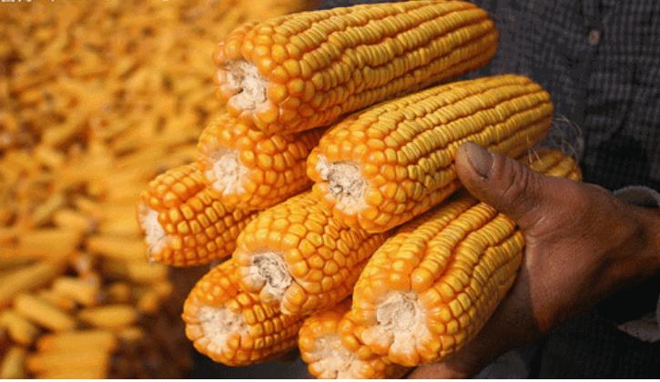 国内外玉米行情倒挂,上秋后玉米价格还能站上1元每斤吗?