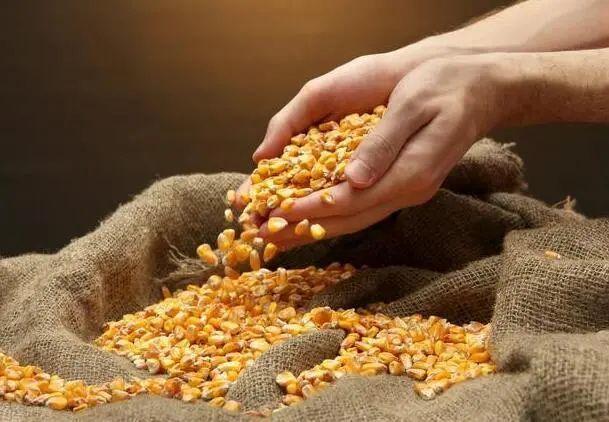 玉米价格每斤冲刺1.3元!农民:跟我没啥关系 受益的是粮商