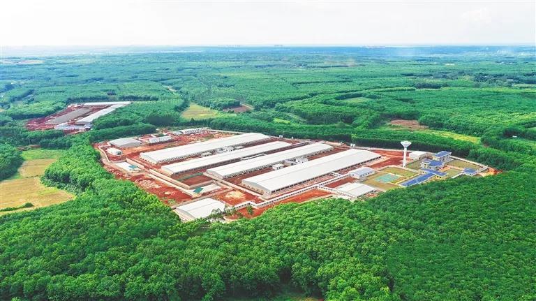 """海垦畜牧集团以项目建设为抓手,推进生猪产业转型升级 智能养猪""""节能高效"""