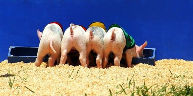 7月30日全国20公斤仔猪价格表,山东省的仔猪均价在110元/公斤!