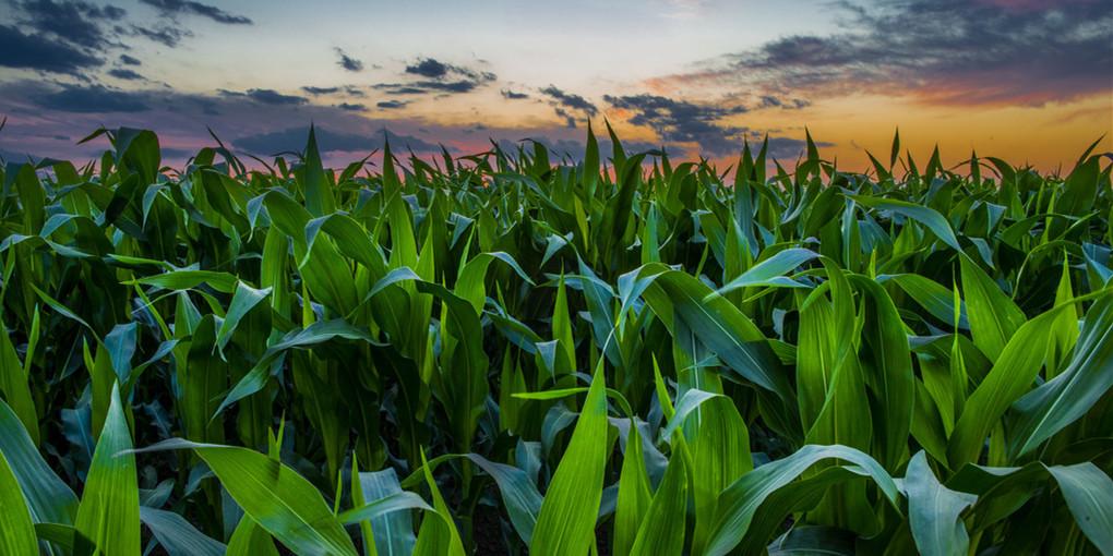 国内外玉米价格背道而行 后期走势如何?
