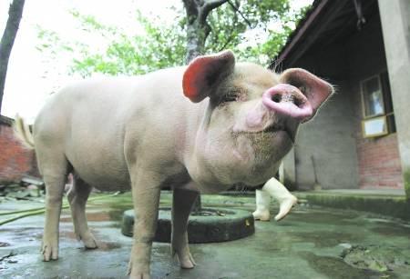 8月1日全国外三元生猪价格表,猪价继续上涨,涨幅为0.16元/公斤!