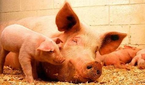 母猪分娩前都有哪些征兆及产前注意事项你都知道哪些?