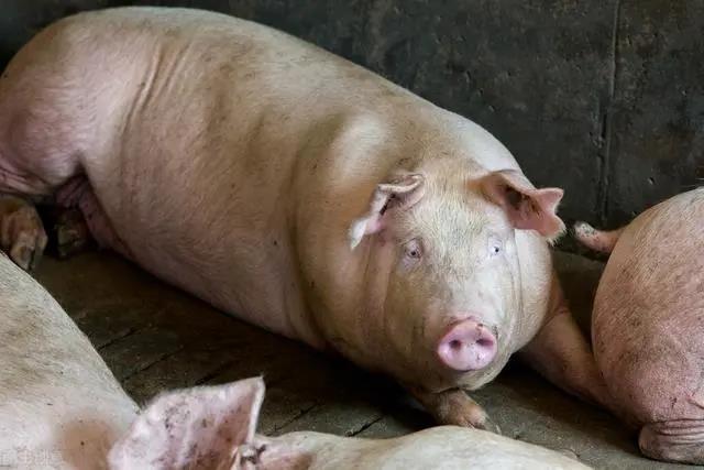 猪价止跌回升?别高兴太早,下半年养猪要面临的2大难题!