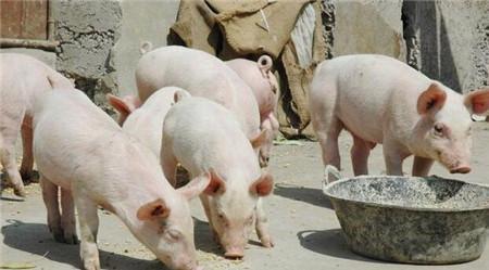8月3日15公斤仔猪价格,饲料涨价,养猪成本提高,二次育肥仍然可观!