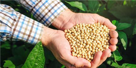 内外盘豆粕大豆双双跳水――进口储备豆投拍 美豆优良率上调